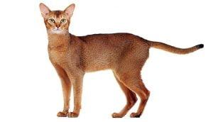گربه نژاد آبسینیان