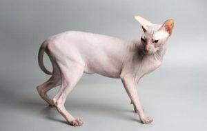 گربه نژاد اسفینکس