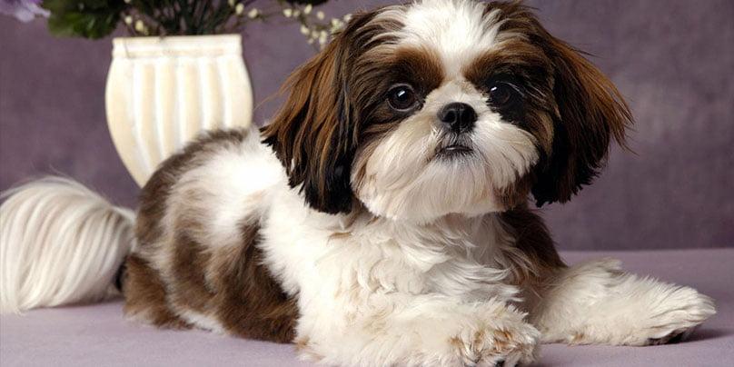سگ نژاد شیتزو قهوه ای