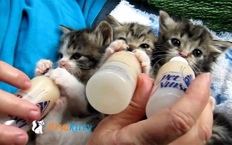 تغذیه بچه گربه با شیر