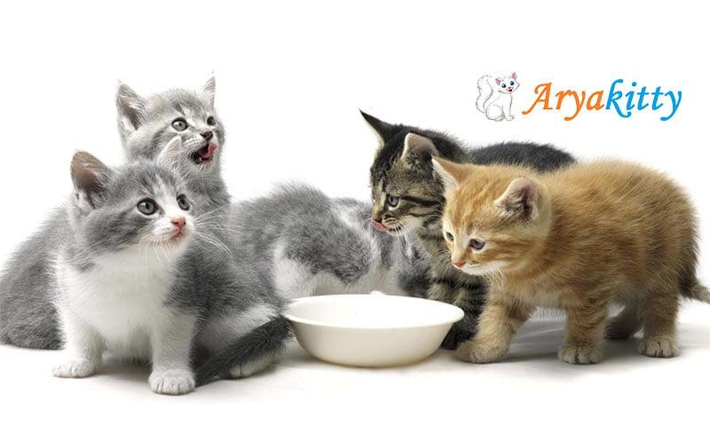 تغذیه بچه گربه 2
